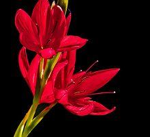 RED KAFFIR LILLYS by Sandy Stewart