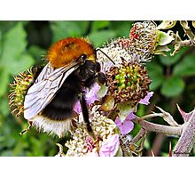 Miss Bee On Her Blackberry Photographic Print