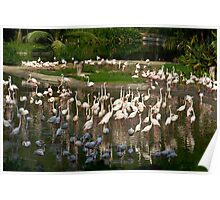 Number of Flamingoes inside the Jurong Bird Park in Singapore Poster