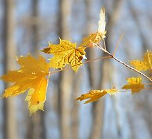 Maple Leaves by Laurie Minor