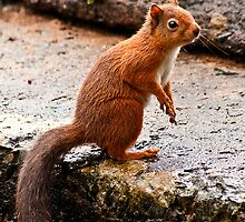 Red Squirrel by Rachel Slater