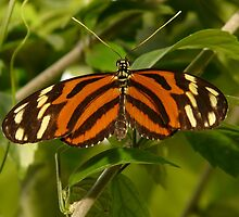 Tiger-passionsfalter Butterfly by justforyou