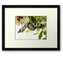 White Baumnymphe Butterfly Idea Leuconoe Framed Print