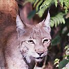 The Lynx by Dikkidee