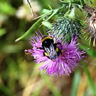 Buzzy Bee by dgscotland