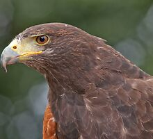 Harris Hawk Portrait by Margaret S Sweeny