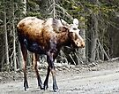 Youg Moose near Canmore Alberta by Yukondick
