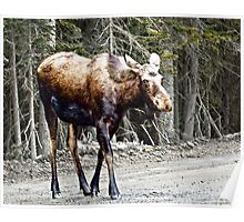 Youg Moose near Canmore Alberta Poster