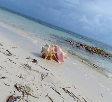 One conch shell. by Anne Scantlebury