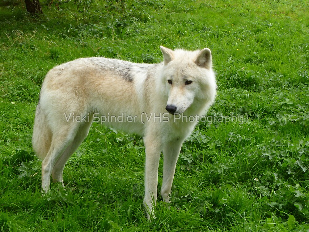 Arctic Wolf by Vicki Spindler (VHS Photography)