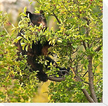 Bear Recliner, Black Bear Eating Chokecherries by Donna Ridgway
