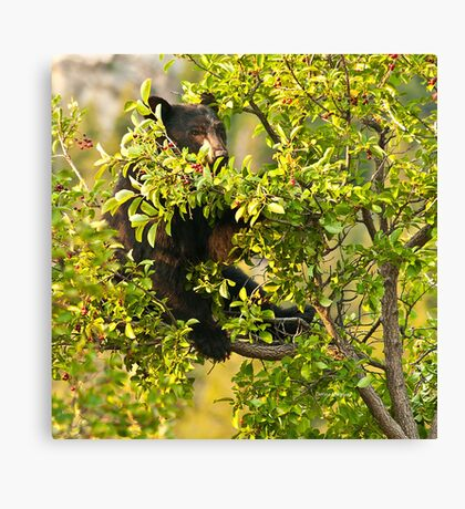 Bear Recliner, Black Bear Eating Chokecherries Canvas Print
