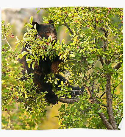 Bear Recliner, Black Bear Eating Chokecherries Poster