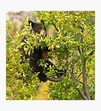 Bear Recliner, Black Bear Eating Chokecherries Photographic Print