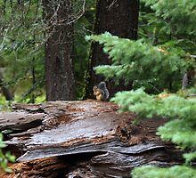 Squirrel  by Gina J