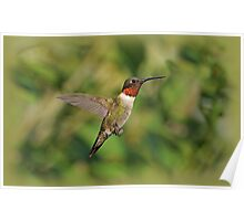Ruby-Throated Hummingbird in Flight Poster
