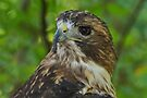 Red-tailed Hawk  by Sandy Keeton