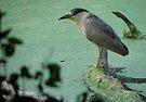 Black Crowned Night Heron by Veronica Schultz