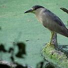 Black Crowned Night Heron by Veronica Schultz