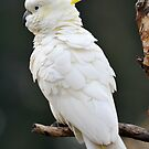Sulphur Crested Cockatoo. Cedar Creek, Qld, Aust. by Ralph de Zilva