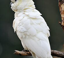 Sulphur Crested Cockatoo. Cedar Creek, Qld, Aust. by Ralph de Zilva