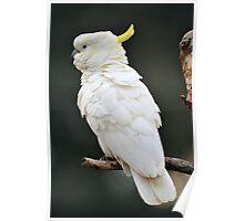 Sulphur Crested Cockatoo. Cedar Creek, Qld, Aust. Poster