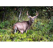 Whitetail Buck Photographic Print