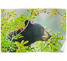 I Want That One!  Bear Eating Chokecherries Poster