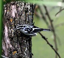 Black and White Warbler by Larry Trupp