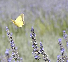 Float On- Whimsical Butterfly in Lavender Field by PopPopPhoto