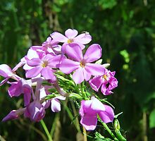 Wild Phlox and Resident by Ron Russell