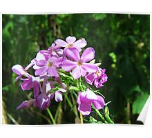 Wild Phlox and Resident Poster