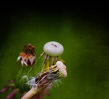 Past Dandelions by Dragos Dumitrascu