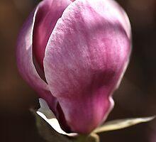 Magnolia by Joy Watson
