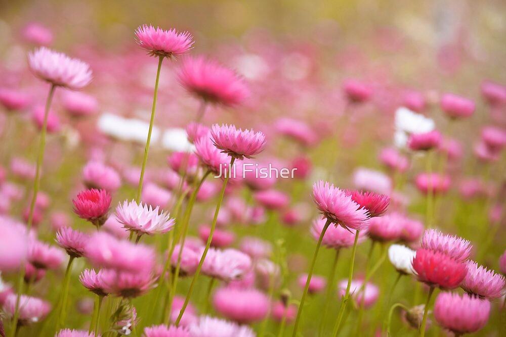 Everlastings in Bloom by Jill Fisher