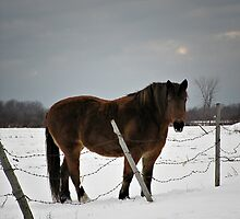 Horse in Winter (holiday greeting card) by photoclique