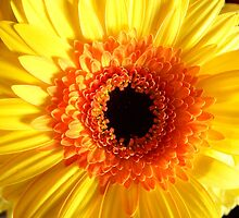 Gerbera Flower by DEB VINCENT