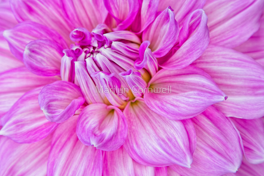 Dahlia Swoon by Marilyn Cornwell