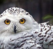 Snowy Owl by Gisele Bedard