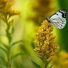 PINE WHITE BUTTERFLY by Sandy Stewart