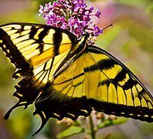 Swallowtail Beauty by Lightengr