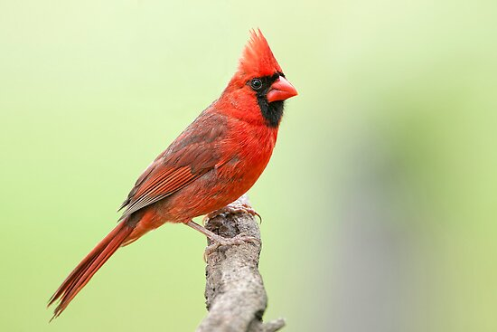 The Redbird, a Year Round Friend by Bonnie T.  Barry