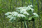 Cow Parsnip by Kathleen Daley