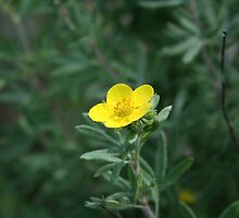 Wild Yellow Potentilla by Kathleen Daley