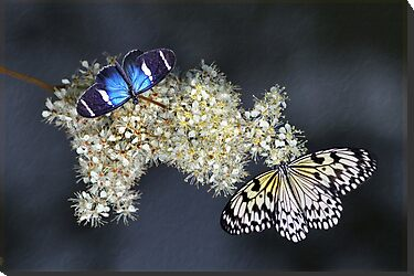 Butterflies by Lyn Evans