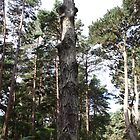 Brownsea Island Tall Tree by mdench