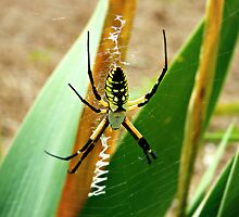 Argiope Aurantia (Yellow Garden Spider) by Scott Mitchell