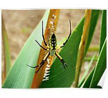 Argiope Aurantia (Yellow Garden Spider) Poster