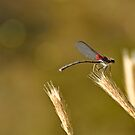 Dragonfly on Wheat by levipie