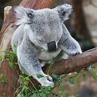 Koala Bear by Rosehaven